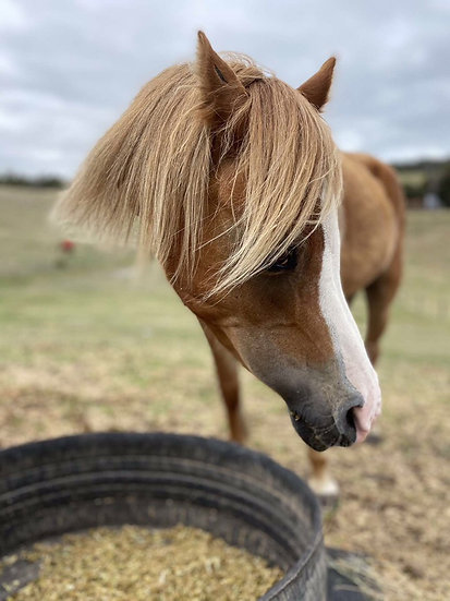 LOLLI - Welsh Mare