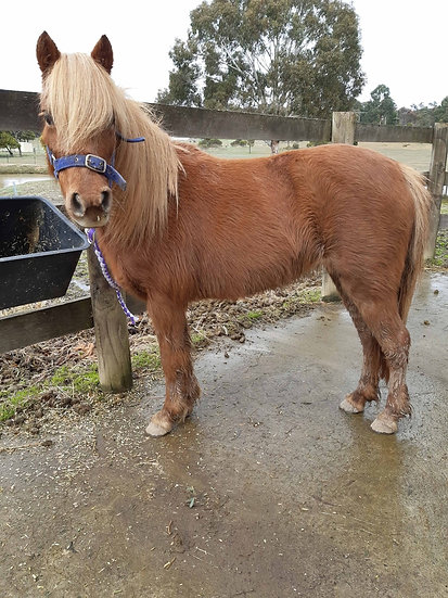RUBY - Welsh Mare