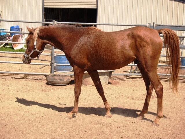SHAQUIN - Arabian Colt