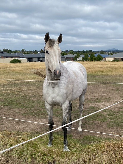 IZZY (SHANGHI SLOW NZ 2007) - Thoroughbred Mare
