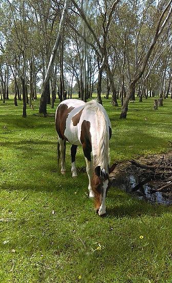 (FLYING JAQUAR 2001)- Standardbred Stallion