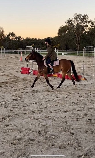 BUTTONS - Australian Riding Pony Mare