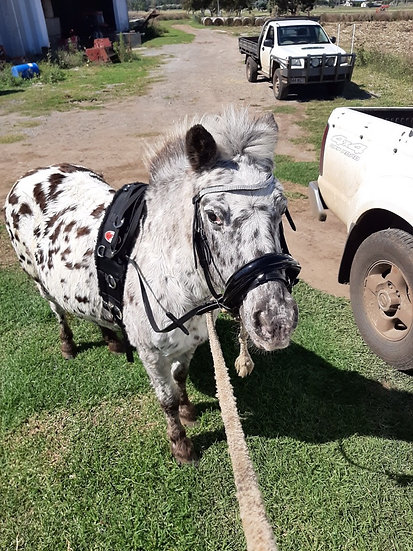 HALF PINT - Palouse Pony Mare