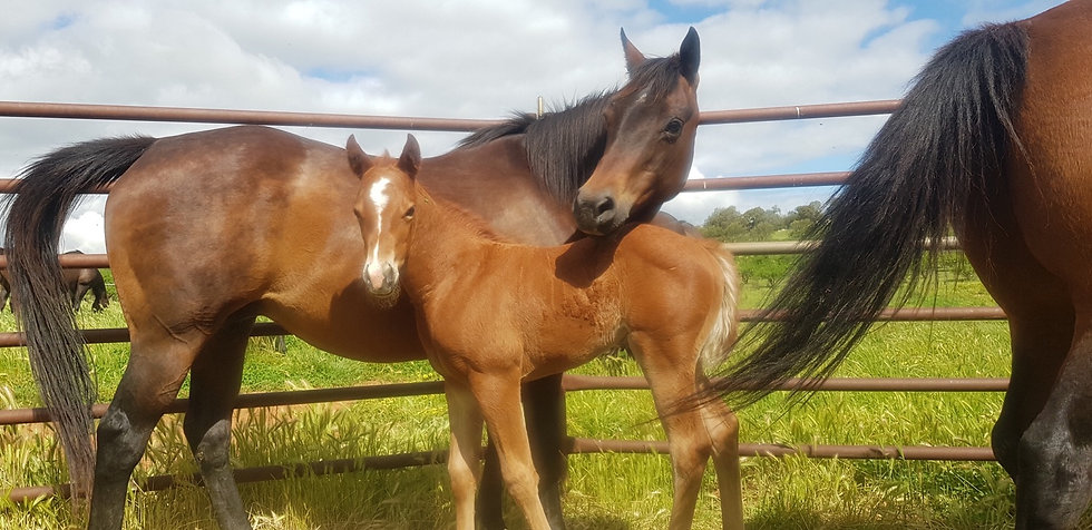 CUTIE - QH Mare & Filly Foal
