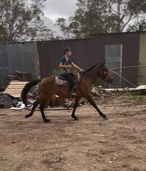 TILLY - Welsh x Stock Horse Mare
