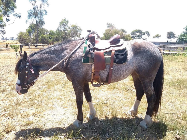 BLUE - Clydesdale x Appaloosa Mare