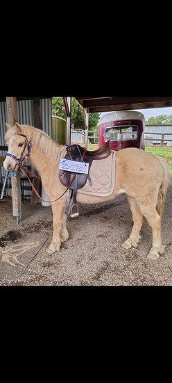 CALCA PARK AURION - Welsh Mountain Pony Gelding