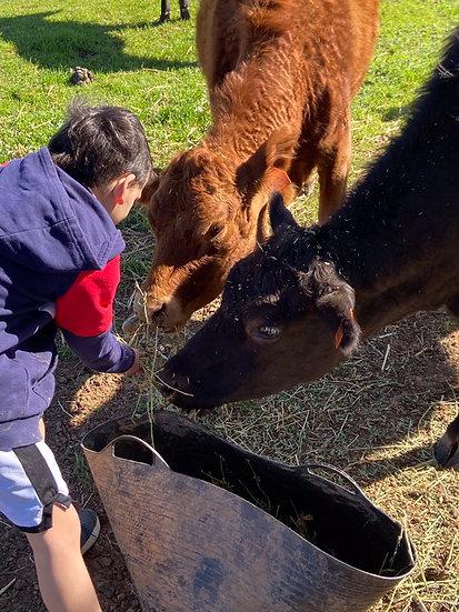 ISLA & HAZEL - LowLine Cows