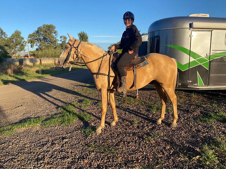 TEDDY - Stock Horse x Gelding