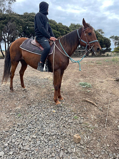 LUCY - Standardbred Mare