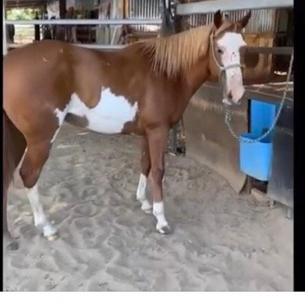 SEATTLE - QH/Paint Mare