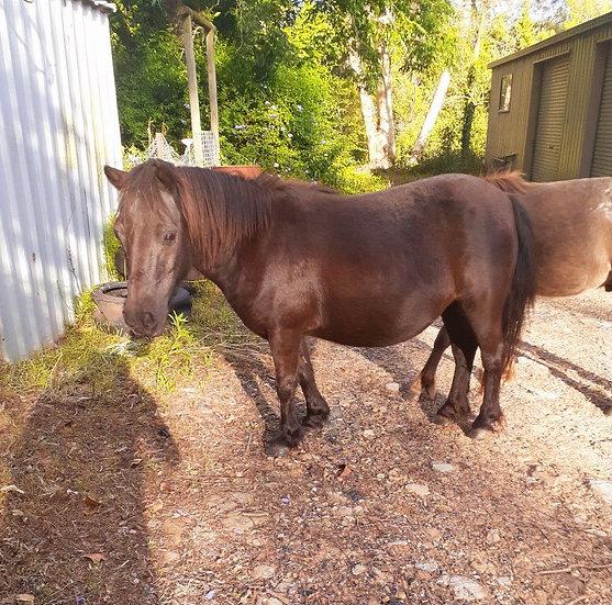 MARY - Miniature Pony Mare