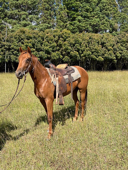 LILLY - QH Filly