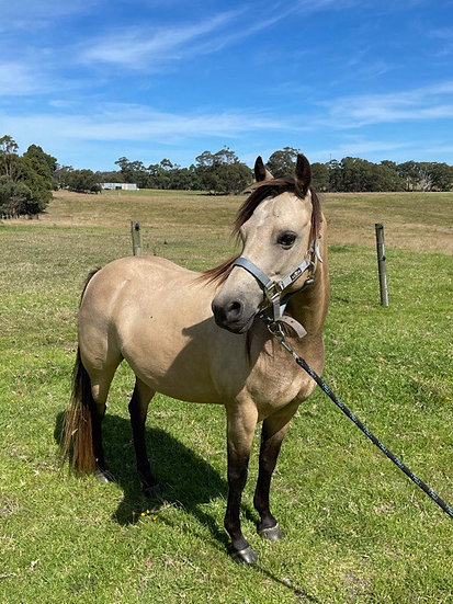 WILLOW - Riding Pony Mare