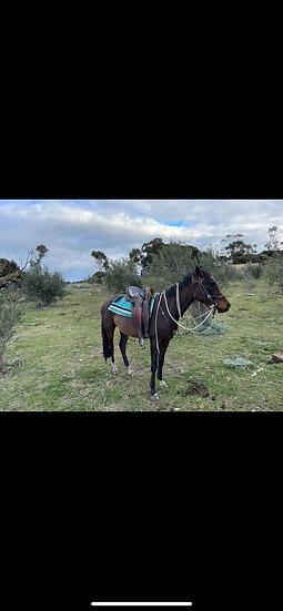 ROBB - Arab x Stock Horse Gelding