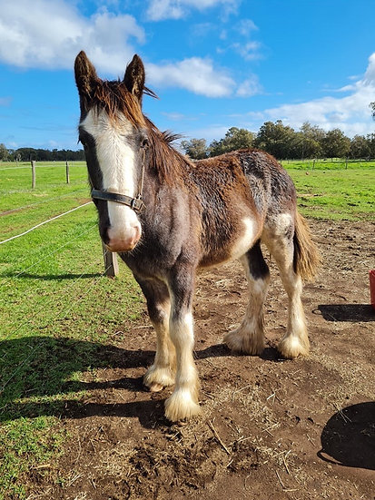 WOURIEPOOL HIGHLAND THUNDER - Clydesdale Colt