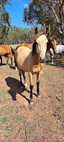 TRIXIE - QH x Stock Horse Filly