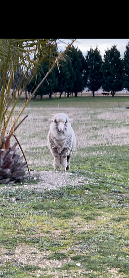 2 MERINO Lambs 12 Months