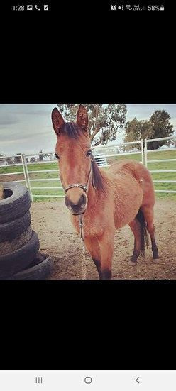 LUCY - Brumby Filly