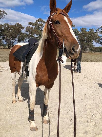 KEEBAH - QH x Stock Horse Mare