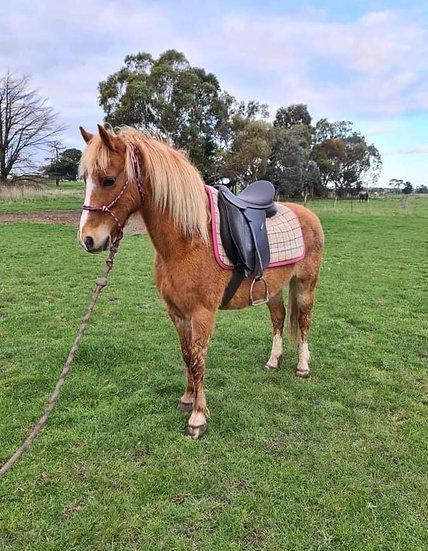 PIGLET - Welsh Pony Gelding