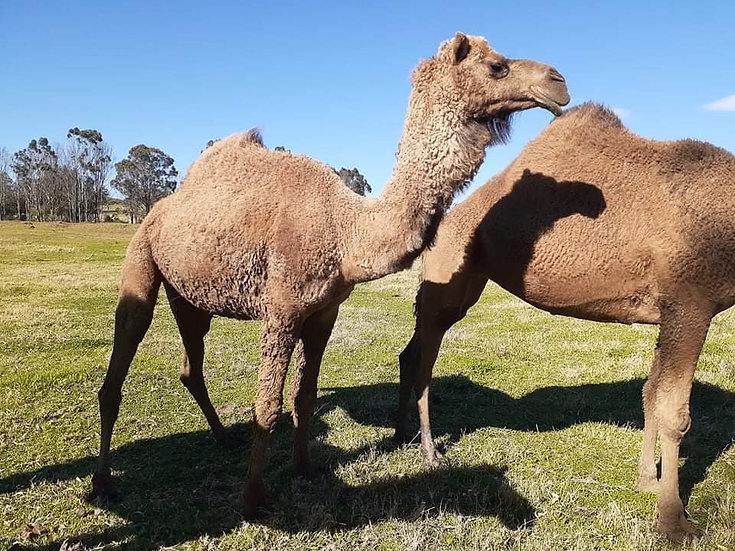 CAMERON - BULL CAMEL