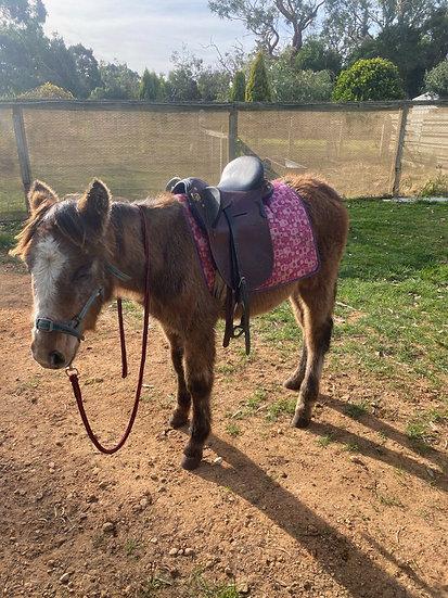 Welsh Mountain Pony Colt