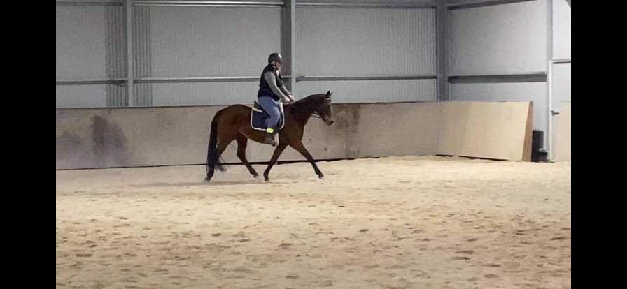 MYLA - Arabian Riding Pony Mare