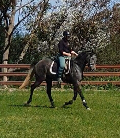 EVIE  (CASH OR CREDIT 2016)  - Thoroughbred Mare