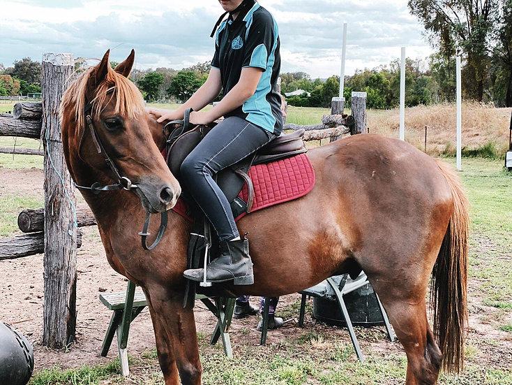 FRANKIE - Riding Pony Gelding