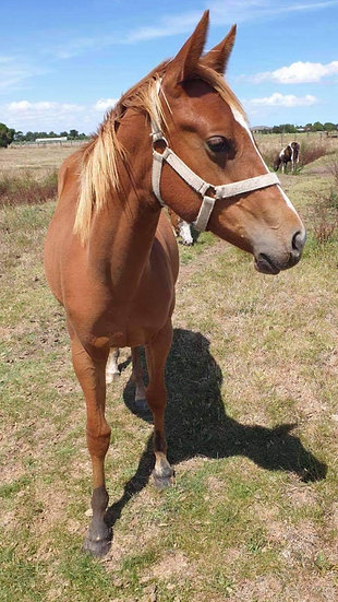CHARM - QH X PAINT FILLY