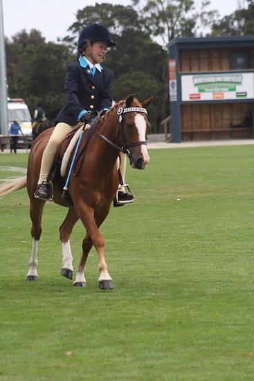 JAMES - Riding Pony Gelding
