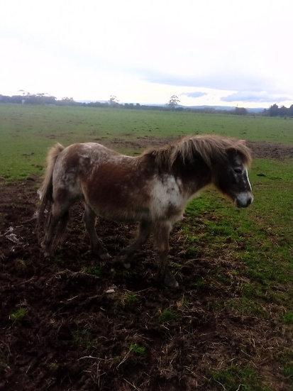 JELLYBEAN - Pony Mare