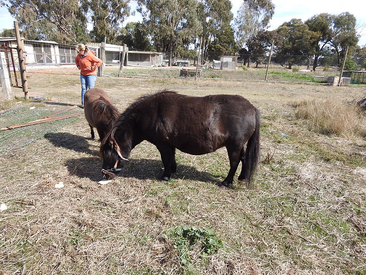 PRINCESS & BELLA - Mini x Shetland Mare & Filly Foal