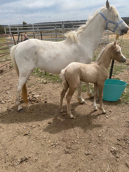 HEAVEN & HARMONY - Welsh B Mare & Filly Foal