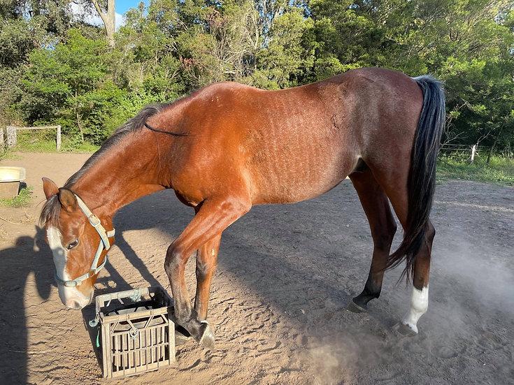 AJAX - TB x Stock Horse Colt