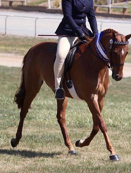 KARMA PARK WICKED - Arabian Riding Pony Mare