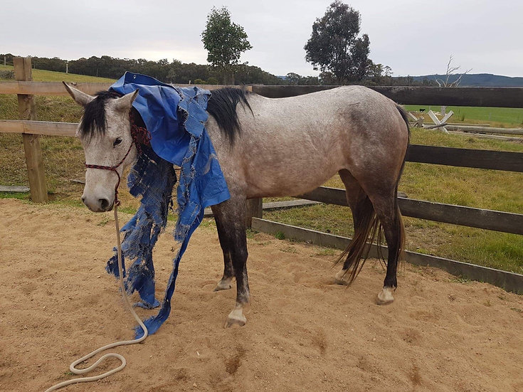 BLUEBELLE - QH x Riding Pony Mare