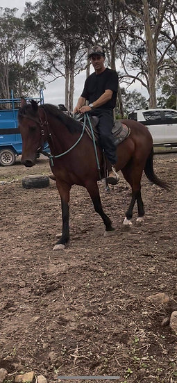 MAPLE - Clydie x Stock Horse Mare