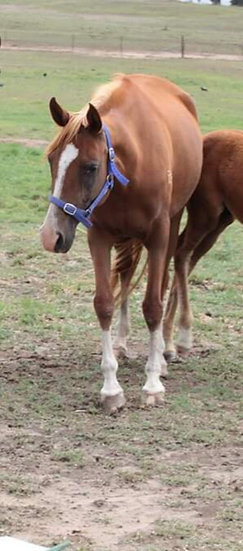 RENBURY BRIDGIT - Arabian Mare