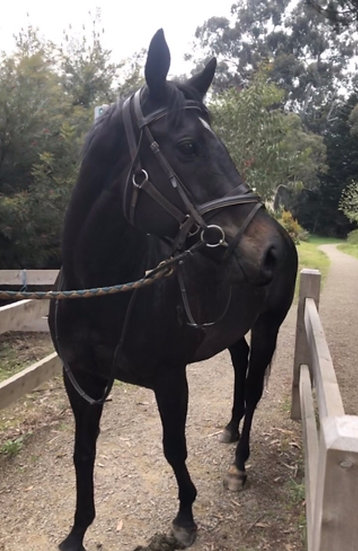 LILLY (MY FRIEND LILLY 2008)- Thoroughbred Mare