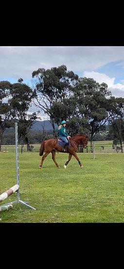 BUZZ - Stock Horse x Gelding