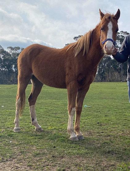 BARRY - Arabian Colt