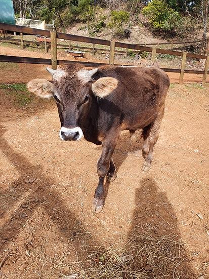 KENNY - Brown Swiss Bull