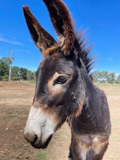 KEVIN - Jack Donkey