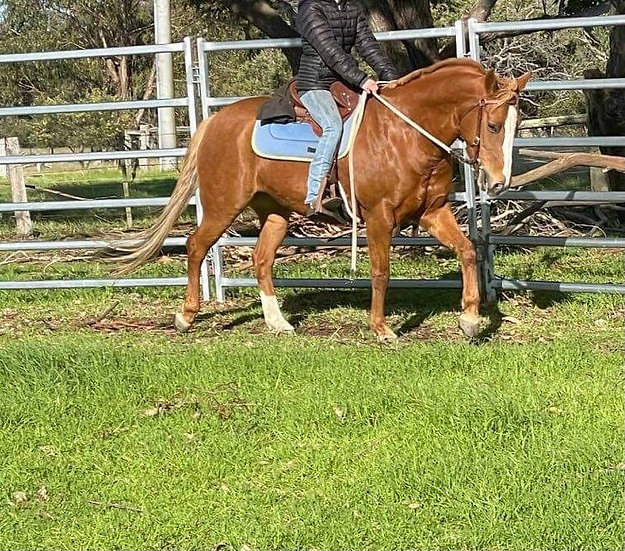 BONNIE - QH X STOCK HORSE MARE