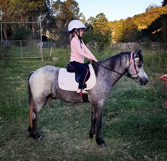 ANGAS - Welsh/RP Gelding
