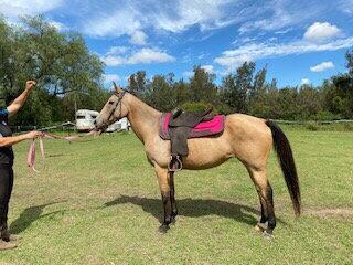 LB - QH x Stock Horse Mare
