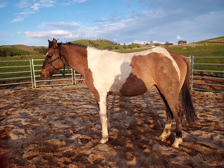 CHECK OUT JO'S LAST ROSE - Paint x TB Filly