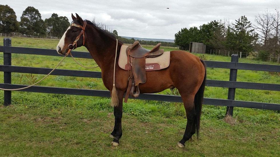 BLAZE - Stock Horse x Gelding